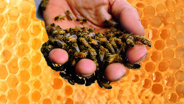 Как лечить пчелами в домашних условиях