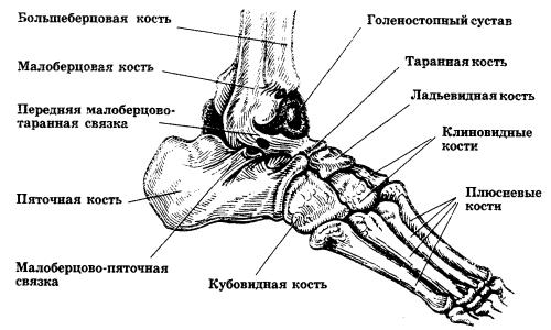 Изображение - Деформирующий артроз таранно ладьевидного сустава stroenie-stopy