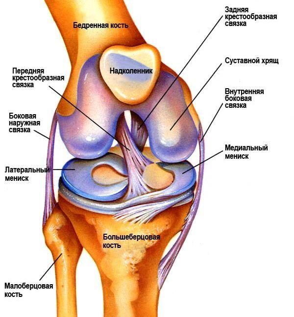 Анатомическое строение коленного сустава и связок