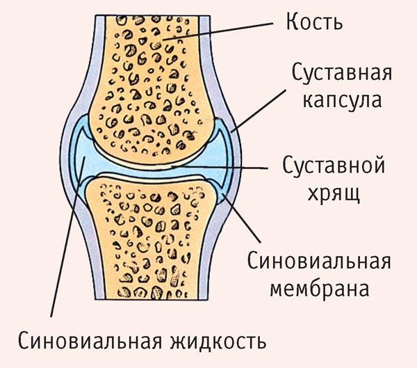 Строение капсулы коленного сустава