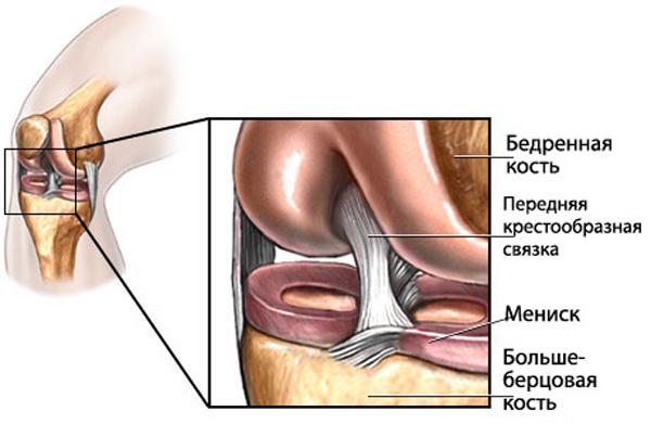Строение передней крестообразной связки колена